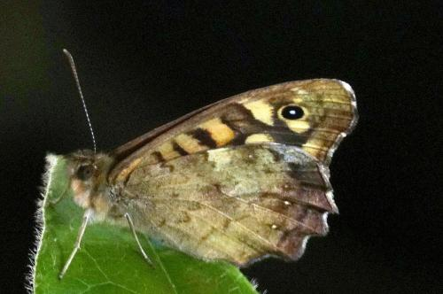 Speckled Wood Butterfly -- Pararge aegeria