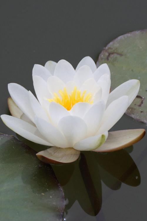 White Lotus Monet's Garden