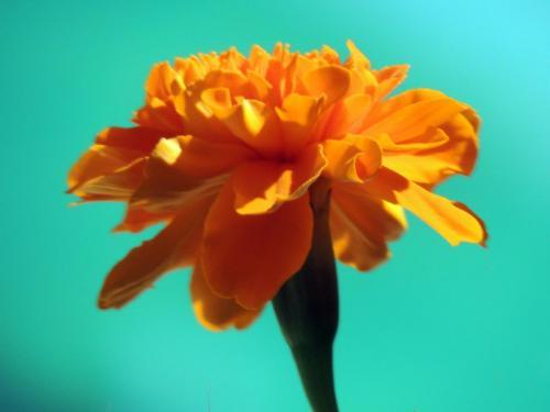 Marigold by the Villa Ndio Pool