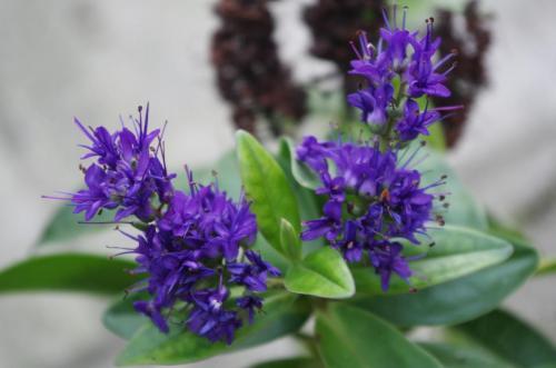 Purple Flower Clusters