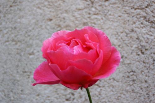 Cabris Rose