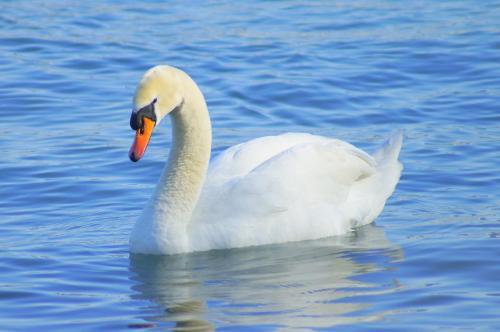 Lac Leman Swan