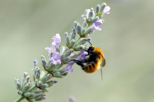 Lavender and Honey Bee ~ Place Lou Baguié