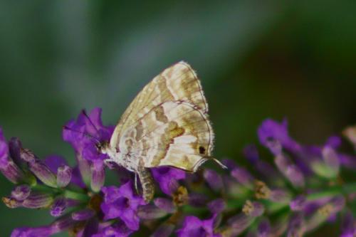 Geranium Bronze -- Cacyreus marshalli