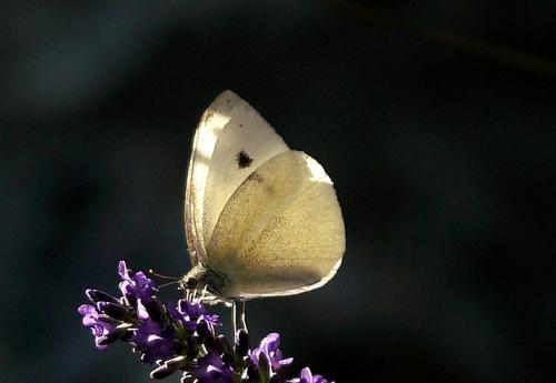 White Butterfly(Pieris rapae)