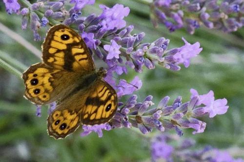 Wall Butterfly -- Lasiommata megera