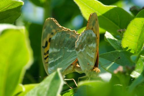 Silver Washed Fritillary Butterflies Copulating