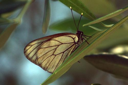 Black-veined White -- Aporia crataegi