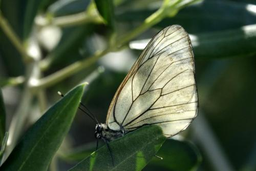 Black-veined White -- Aporia crataegi