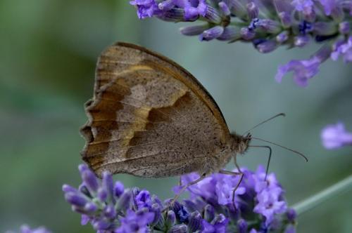 Gatekeeper -- Pyronia tithonus