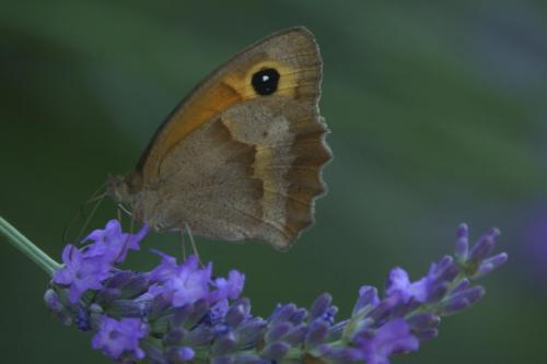 Gatekeeper -- Pyronia tithonus