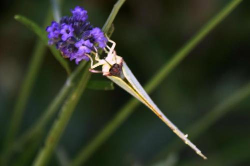 Brimstone -- Gonepteryx rhamni