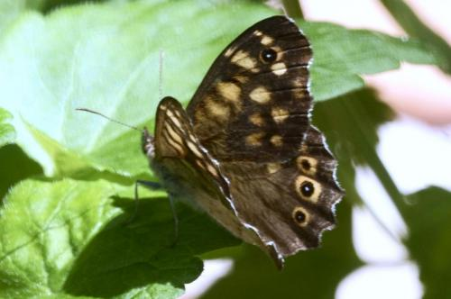 Speckled Wood -- Pararge aegeria