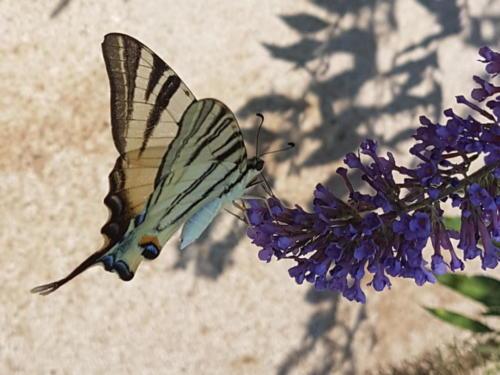 Scarce Swallowtail -- Iphiclides podalirius