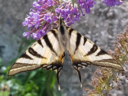Scarce Swallowtail --Iphiclides podalirius