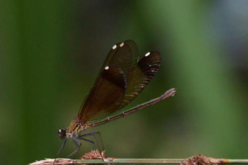 Damsewlflies and Dragonflies around Villa Ndio