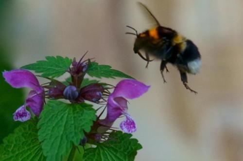 Bumblebees of Villa Ndio