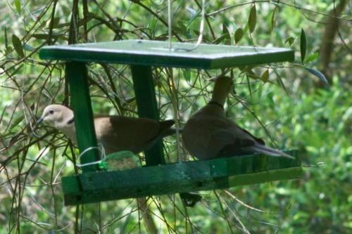 European Collared Doves