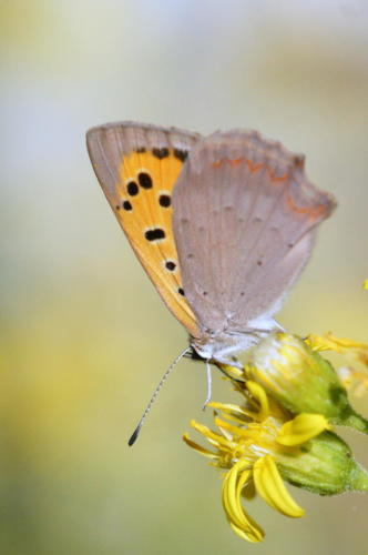 Small Copper -- Lycaena phlaeas