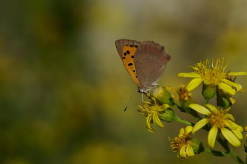 Small Copper -- Lycaena phlaeas