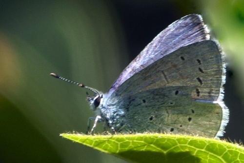 Small Blue (Cupido Minimus)