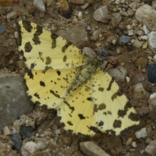 Speckled Yellow -- Pseudopanthera macularia L