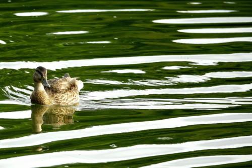 Mallard on a Nashville Pond
